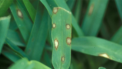 https://www.thelawninstitute.org/wp-content/uploads/2020/11/gray-leaf-spot-top.png