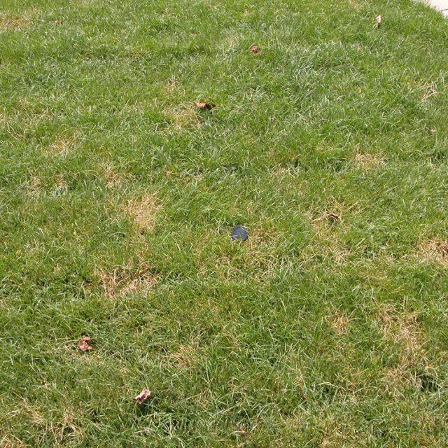 kentucky-bluegrass-dollar-spot-lawn-004