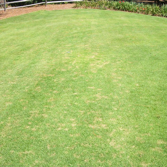 zoysia-dollar-spot-lawn-002
