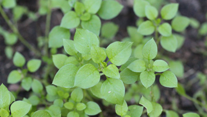 https://www.thelawninstitute.org/wp-content/uploads/2020/12/chickweed-top.jpg