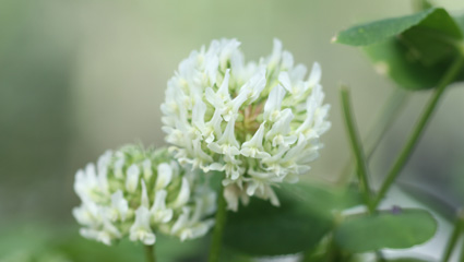 https://www.thelawninstitute.org/wp-content/uploads/2021/01/white-clover-top_image.jpg